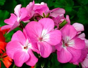 coronas de flores Tanatorio de Cenicientos